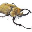 escarabajo elefante - 𝘔𝘦𝘨𝘢𝘴𝘰𝘮𝘢 𝘦𝘭𝘦𝘱𝘩𝘢𝘴. Um projeto de Ilustração, Pintura em aquarela e Desenho realista de Balamoc - 31.05.2018