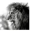 Charcoal lion . A Zeichnung project by Sarah Stokes - 27.02.2021