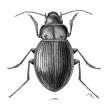 Ilustración de nueva especie de coleóptero: Rhytidognathus platensis . Un proyecto de Ilustración de Julia Rouaux - 01.11.2012