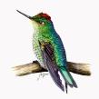 Picaflor rubí (Sephanoides sephaniodes). Un proyecto de Ilustración y Pintura a la acuarela de Julia Rouaux - 20.11.2015