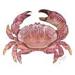 Cangrejo (Etisus sp.). Un proyecto de Ilustración digital de Julia Rouaux - 15.11.2015