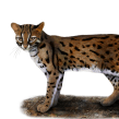Gato de bengala (Prionailurus bengalensis). Un proyecto de Ilustración digital e Illustración editorial de Julia Rouaux - 20.09.2016