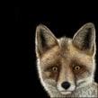 Zorro rojo (Vulpes vulpes). Un proyecto de Ilustración con tinta e Ilustración naturalista de Julia Rouaux - 20.08.2017