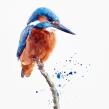 Watercolour kingfisher. A Aquarellmalerei project by Sarah Stokes - 05.06.2021