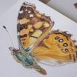 Libro Mariposas de la Reserva Biológica Huilo Huilo. A Illustration project by Antonia Reyes Montealegre - 02.11.2017