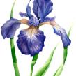 Aquarelas Florais. Um projeto de Ilustração, Pintura em aquarela e Ilustração botânica de Luli Reis - 12.12.2019