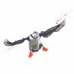 Puffin in flight. Un proyecto de Pintura a la acuarela de Sarah Stokes - 22.10.2020