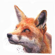 Watercolour fox. A Aquarellmalerei project by Sarah Stokes - 01.11.2020