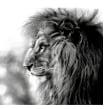 Charcoal lion . Um projeto de Desenho de Sarah Stokes - 27.02.2021