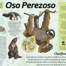 Megainfográfico OSO PEREZOSO . Um projeto de Design editorial de Juan Carlos Díaz - 10.06.2015
