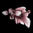 betta fish. Un proyecto de Diseño, Ilustración, Dirección de arte, Artesanía, Bellas Artes, Diseño gráfico, Pintura, Arte urbano, Bocetado, Creatividad, Dibujo a lápiz, Dibujo, Ilustración digital, Concept Art, Dibujo realista y Dibujo artístico de Isa - 11.12.2018