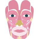 Músculos de la expresión facial. Un proyecto de Animación, Animación 2D e Ilustración digital de Valentina Carrasco Martínez - 28.12.2018