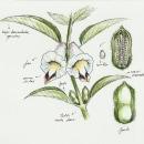 Sesamum indicum. A Illustration, and Botanical illustration project by Raquel Vázquez - 04.01.2020