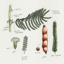 Acacia macrostachya. A Illustration, and Botanical illustration project by Raquel Vázquez - 04.01.2020