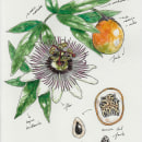 Passiflora edulis. A Illustration, and Botanical illustration project by Raquel Vázquez - 04.01.2020