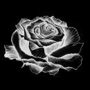 El nombre de la rosa. Un proyecto de Ilustración, Diseño editorial, Dibujo e Ilustración botánica de Laura Vånitas - 17.04.2020