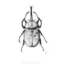 Escarabajo Elefante. Un proyecto de Dibujo realista, Ilustración e Ilustración digital de Samantha Barbachano - 13.05.2020