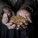 Trigo, un producto ancestral que se esta perdiendo. A Photograph, Documentar, and Photograph project by Alejandro Osses Saenz - 03.01.2019