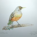 Meu projeto do curso: Ilustração naturalista de aves com aquarela. Un proyecto de Ilustración naturalista de Waldnei Abreu - 02.02.2021