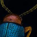 Escarabajo Pulga Brillante, Macro Extremo.. Un proyecto de Fotografía, Fotografía de retrato, Fotografía de estudio y Fotografía documental de Sergio Gómez - 13.04.2021