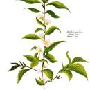 Florilegium. Un proyecto de Pintura a la acuarela e Ilustración botánica de Ana María Orobio Pinzón - 25.04.2021