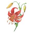 Mi Proyecto del curso: Acuarela botánica: ilustra la anatomía de las flores. Um projeto de Ilustração, Artes plásticas, Pintura, Desenho, Pintura em aquarela e Ilustração botânica de Mariana Quinteros - 04.06.2021