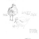 Apuntes de campo en la Reserva Natural Urbana de Rio Gallegos II (Santa Cruz) PATAGONIA. Un proyecto de Bocetado, Dibujo a lápiz, Dibujo, Sketchbook e Ilustración naturalista de Juan de Souza - 20.06.2021