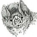 Rostros de murcielagos nativos de Argentina . Un proyecto de Ilustración, Ilustración con tinta e Ilustración naturalista de Juan de Souza - 20.06.2021