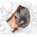 Chiroptères. Un proyecto de Ilustración naturalista de Elsa Bugot - 27.07.2021
