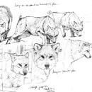 Canis lupus. Un proyecto de Ilustración naturalista de Elsa Bugot - 27.07.2021
