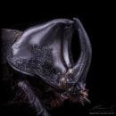 Rhino Beetle. MACRO EXTREMO. Um projeto de Fotografia, Fotografia de retrato, Fotografia de estúdio e Fotografia documental de Sergio Gómez - 23.08.2021