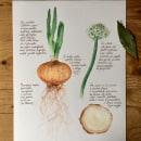 Allium Cepa (Cipolla). Un progetto di Illustrazione botanica , e Pittura ad acquerello di Katia Fornaroli - 13.09.2021