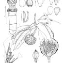 Magnolia Sp. Nov2 plancha. Um projeto de Ilustração botânica de Angélica María - 13.10.2021