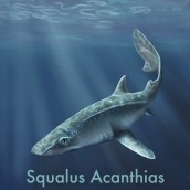 Squalus acanthias. A Illustration project by Valeria Carnevali - 11.15.2020
