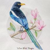 Yellow-Billed Magpie - Curso: Ilustración naturalista de aves con acuarela. Um projeto de Artes plásticas e Ilustração naturalista de Elena Pellicer - 21.04.2021