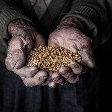 Trigo, un producto ancestral que se esta perdiendo. A Fotografie und Dokumentarfotografie project by Alejandro Osses Saenz - 01.03.2019