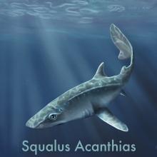 Squalus acanthias. Un proyecto de Ilustración de Valeria Carnevali - 15.11.2020