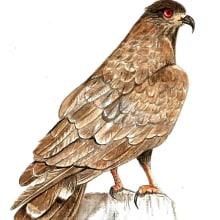 Meu projeto do curso: Ilustração naturalista de aves com aquarela Gavião. Un proyecto de Pintura a la acuarela de Vera Elenita Medeiros - 06.03.2021