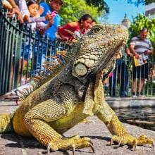 Turismo en la ciudad - Iguana de Guayaquil. Un proyecto de Fotografía en exteriores de Víctor Macías Pincay - 17.04.2021