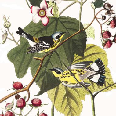 Gratis 435 acuarelas de pájaros del siglo XIX