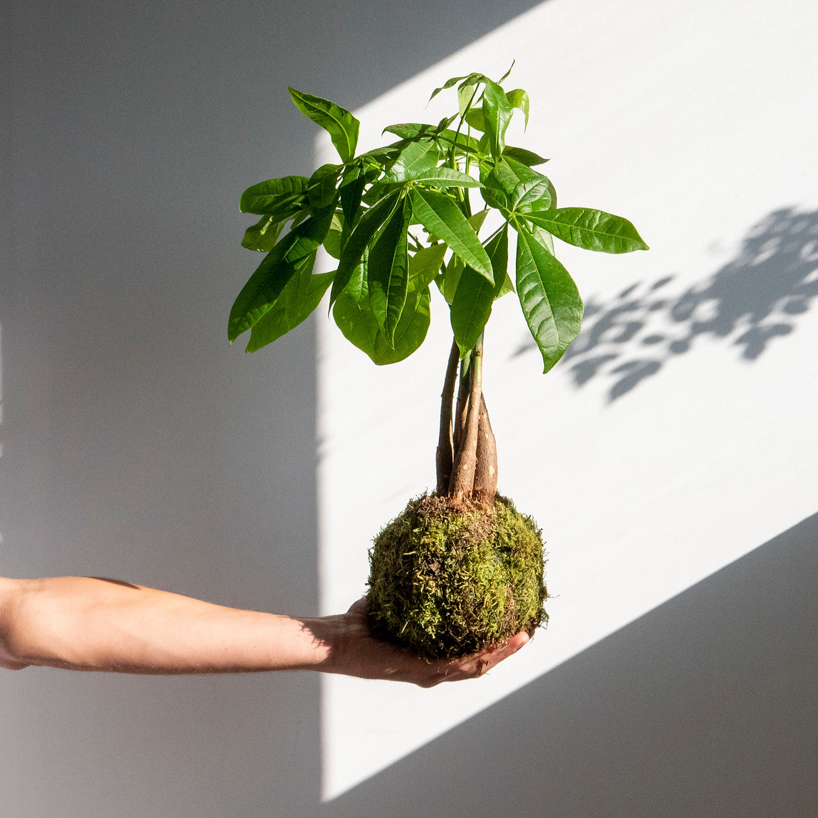 10 ejemplos de Kokedamas para descubrir el arte de las bolas de musgo