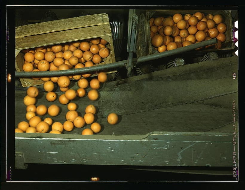 Oranges gathering 1943 1