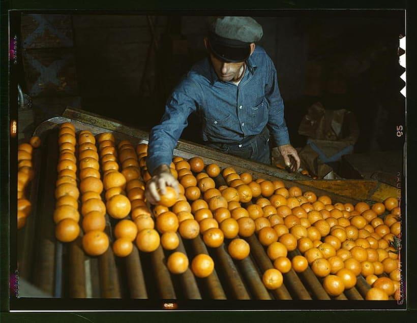 Oranges gathering 1943 2