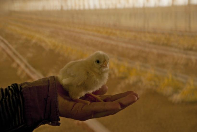 pollos 2