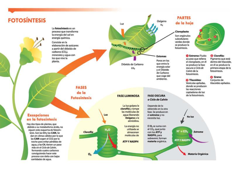 Infografía Fotosíntesis 1