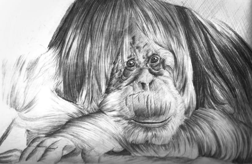 Orangután   1