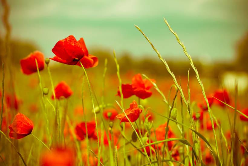 Amapolas y otras flores 1