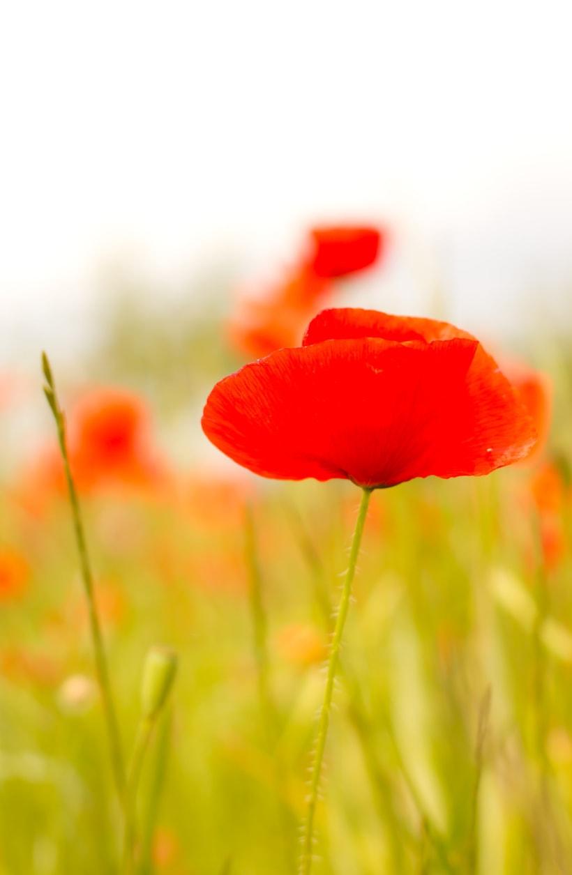 Amapolas y otras flores 2