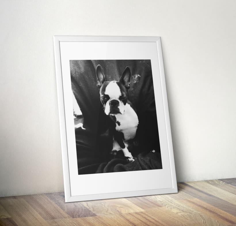 Lulo The Boston Terrier 4
