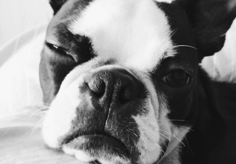 Lulo The Boston Terrier 2